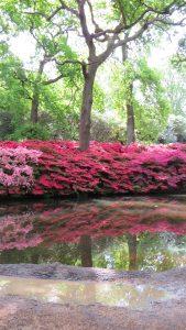 Isabella Plantation: Kurume Azaleas