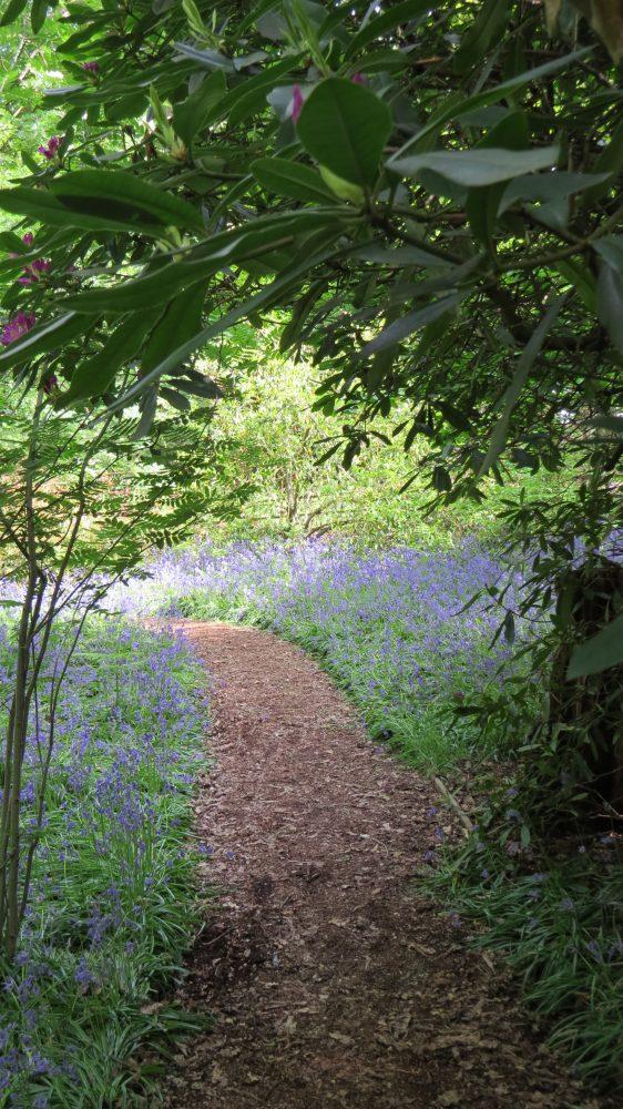 Isabella Plantation: Bluebells