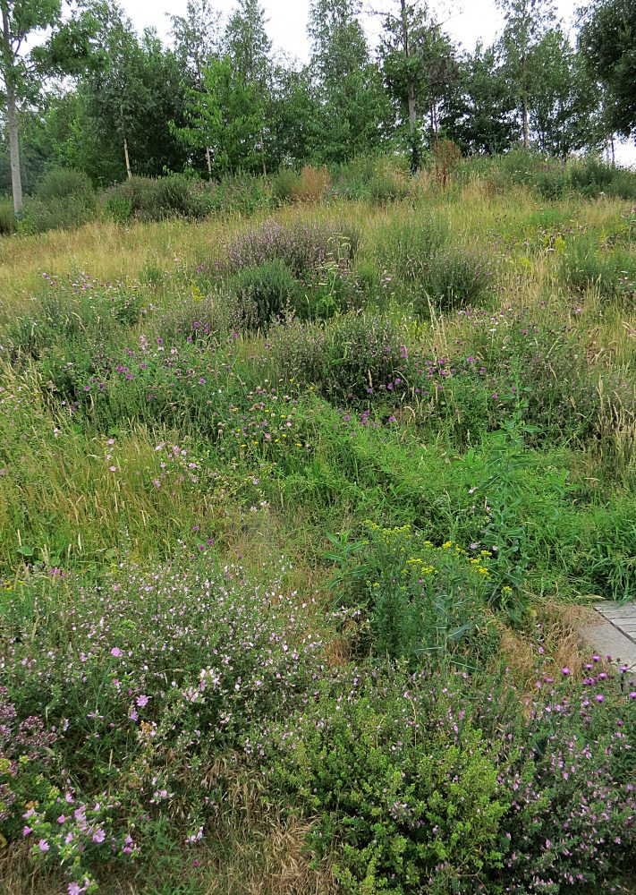 Replanted North Park Meadow 2017