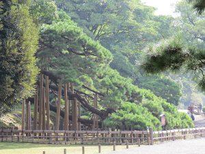 300 Year Old Black Pine