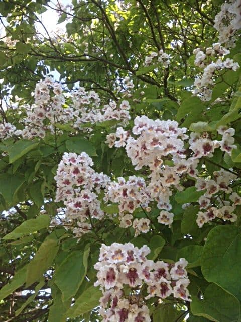 Indian Bean Tree (Catalpa bignononoides) Cherokee Native American tribes called it Catalpa, hence the origin of its Latin name. From the South East United States, it is widely planted for its bright green heart-shaped leaves and trumpet-shaped flowers of mid-summer.