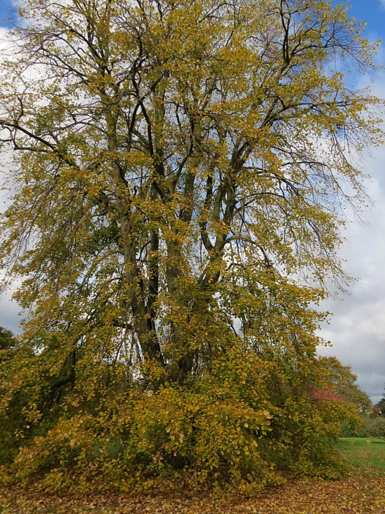 Weeping Silver Lime (Tilia tomentosa 'Petiolaris') Autumn Colour (The fragrance of the flowers of lime trees is one of the delights of early summer.)