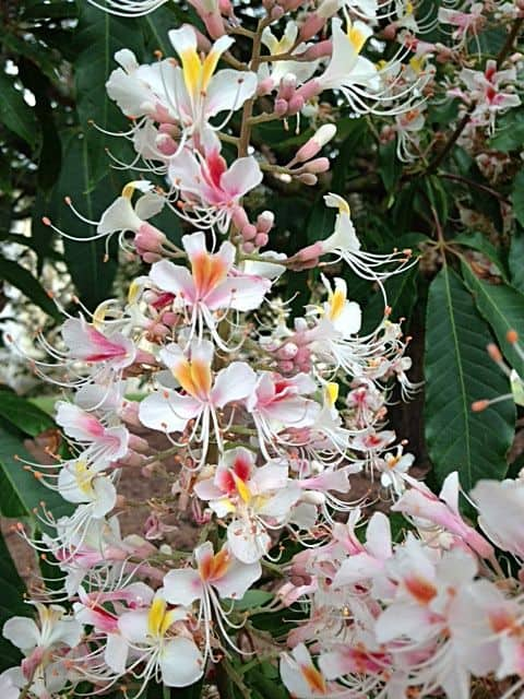 Indian Horse Chestnut (Aesculus indica 'Sydney Pearce') (The species originates from the Himalayan Lowlands between Kashmir and Western Nepal) Its stunning flowers make it a popular park tree. Commercial collection of seed for flour production threatens its distribution in the wild.)