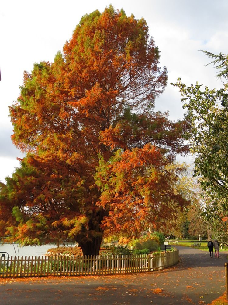 Photo I – Swamp Cypress (Taxodium distichum) Autumn Colour (Deciduous conifer native to the south east USA that thrives on saturated and seasonally inundated soils.)