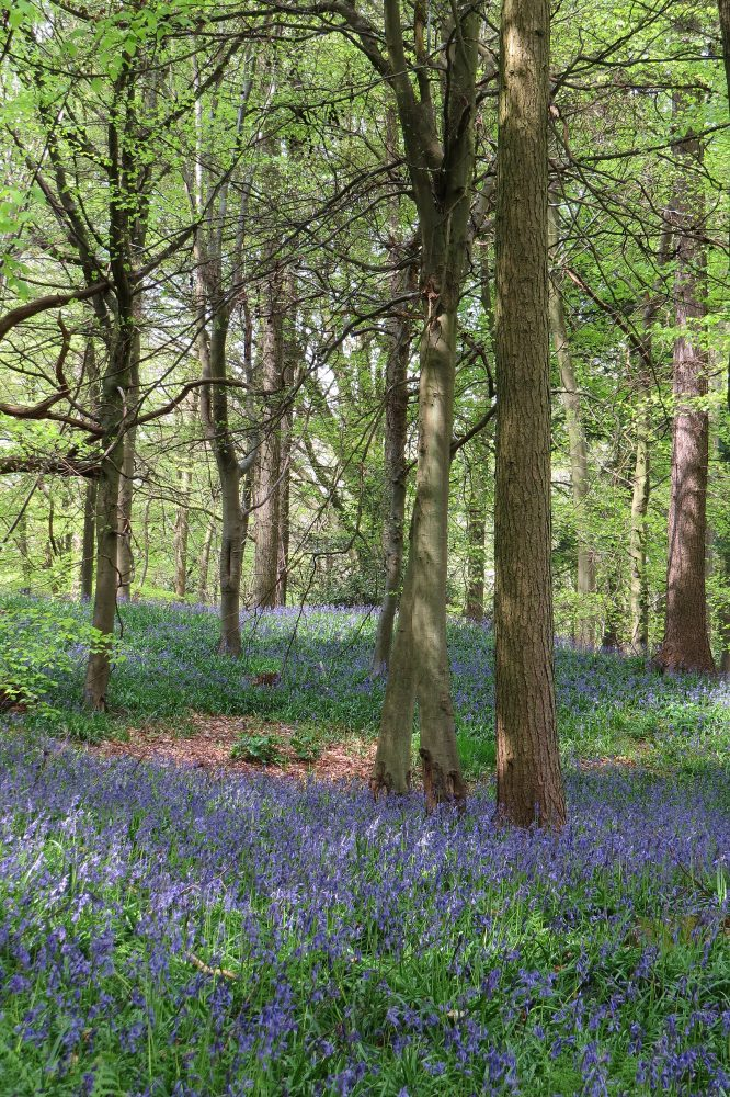 Bluebells and Woodlands