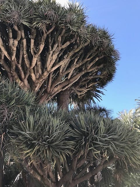 Dragon Trees – Dracaena circle